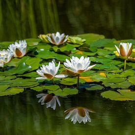 Witte waterlelies van Ursula Di Chito