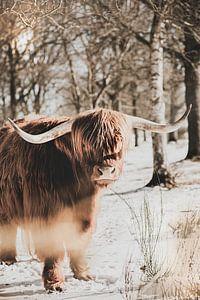 Schotse hooglander in de sneeuw van Melanie Schat