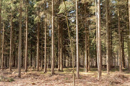 Rechte bomen op een rij in Lage Vuursche