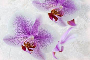 Orchidee, roze lila van Rietje Bulthuis