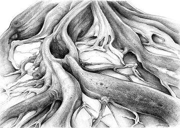 Ficus Macrophylla IV