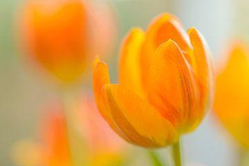 Geel oranje tulpen  van Gonnie van de Schans