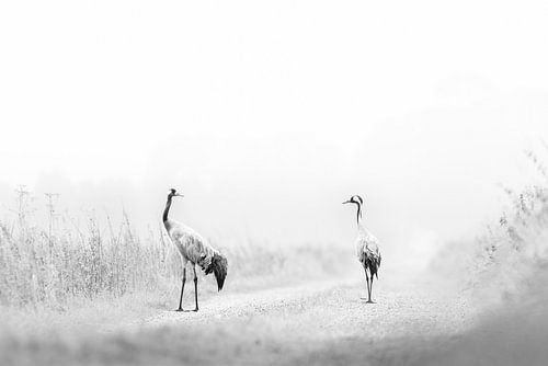 Kraanvogeldans