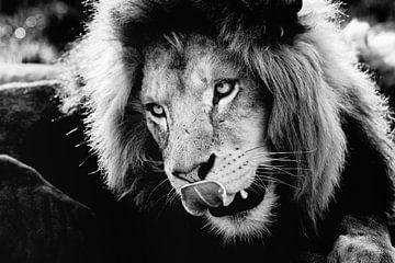 Löwe mit der Zunge aus dem Mund! von Eric van Horrik