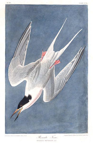 Sterne de Dougall sur Birds of America