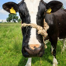 Zwart witte koe portret van Dennis van de Water