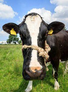 Zwart witte koe portret van