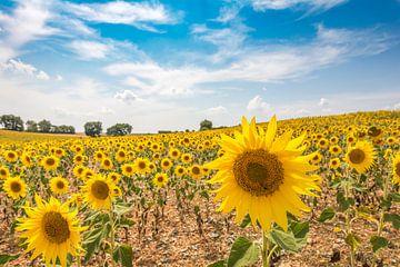 Zonnebloemenveld van Eelke Brandsma
