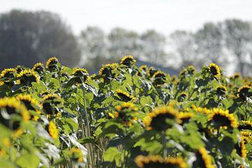 Zonnebloemen met hun hoofd naar de zon. van Cora Unk