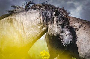 Wild konikspaard van