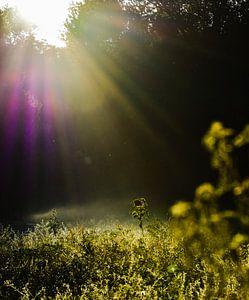 Zonnebloem in de ochtendzon. van Genevieve de Ru