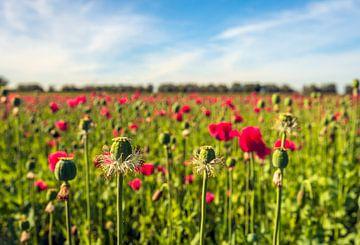 Groot veld met rode papavers van Ruud Morijn