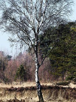 Birke im Schnaakenmoor van Peter Norden