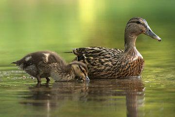 Duck sur