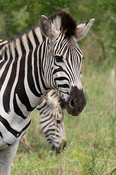 Zebra van Lotte van Dulmen
