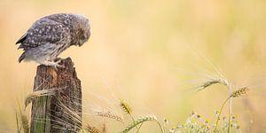 Jonge steenuil in graanlandschap