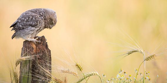 Jonge steenuil in graanlandschap van Kris Hermans