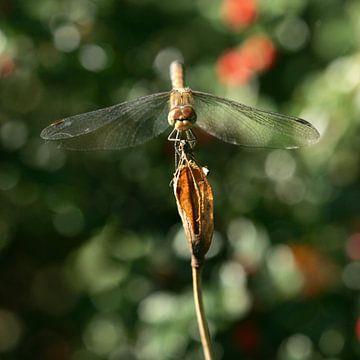 Oog in oog met een Libelle van Lynn van Baaren