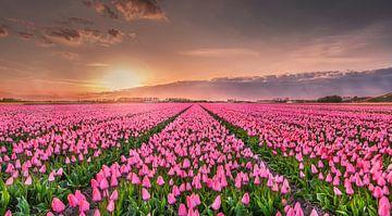 Roze Tulpen von Machiel Koolhaas