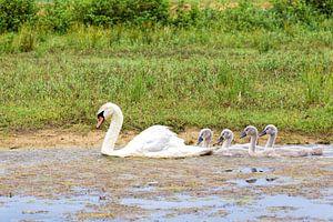 Witte moeder zwaan zwemt met jongen in een rij van