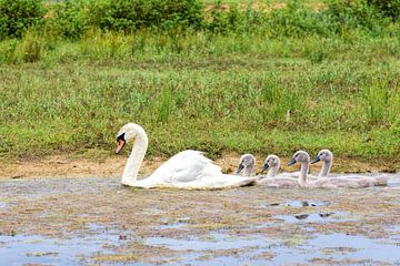 Witte moeder zwaan zwemt met jongen in een rij van Ben Schonewille