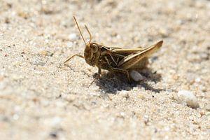 Sprinkhaan in het zand van