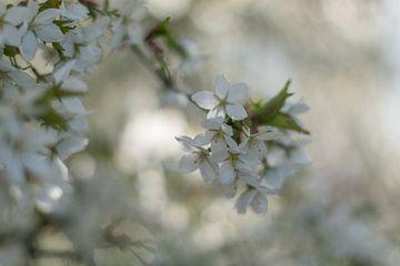 Het is voorjaar! van As Janson