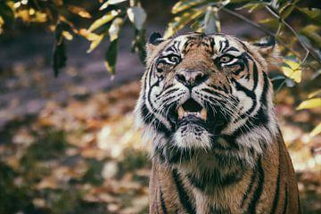 Porträt eines Sumatra Tigers, der unter einem Baum steht von Edith Albuschat