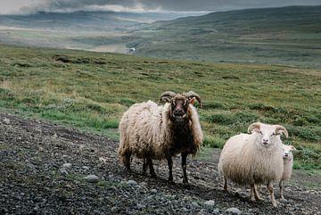 Schafe in Island von Tom Rijpert
