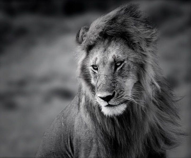 Lion in the Wind van SuperB Design
