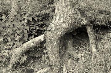 Wortels in de lucht. Een boom in het Zwarte Woud. von Anne Hana