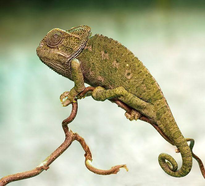 Kameleon van Loek Lobel