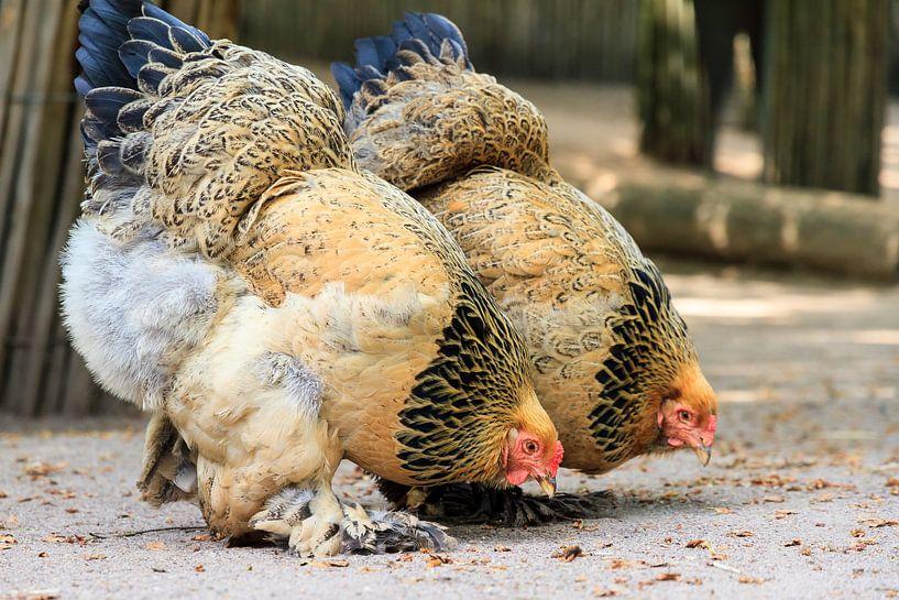 Wonderbaar Brahma kippen van Dennis van de Water op canvas, behang en meer WP-66