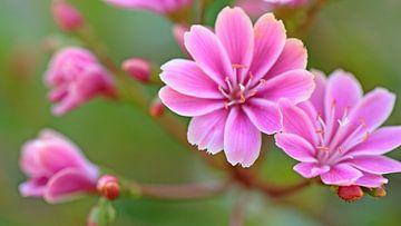 Rosa Blumen von Ronald Smits