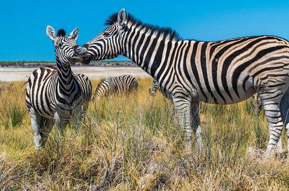 Twee zebra's, moeder met jong in Etosha, Namibië van Rietje Bulthuis