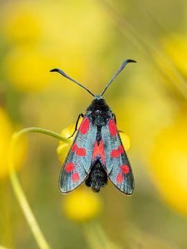 Sint-Jans vlinder van Diane van Veen