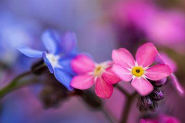 Een roze en blauwe bloem maken een mooi geheel. van GiPanini