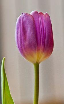 Tulpe 2) von Norbert Sülzner