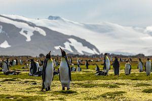 Konings pinguïn koppel in South Georgia van Ramon Lucas