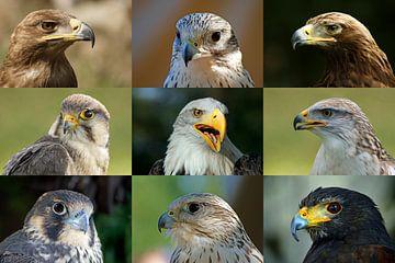 Greifvögel_Collage von Ingo Rasch