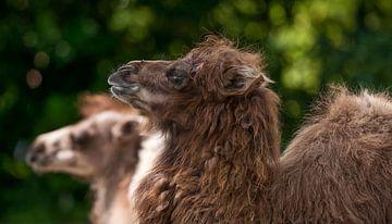 kameel : Diergaarde Blijdorp van Loek Lobel