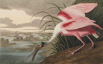 Rode Lepelaar  - Teylers Edition -  Birds of America, John James Audubon (zonder witrand) van Teylers Museum