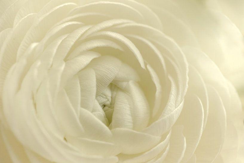 Witte ranonkel van Gonnie van de Schans