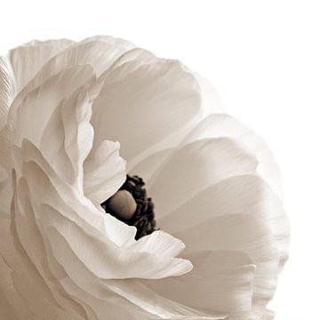 Paeonia van Inge Berken