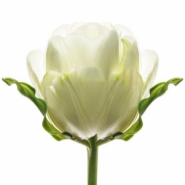 Tulipa8 van Henk Leijen