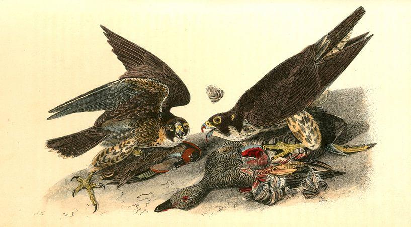 Valk, Peregrine Falcon., Audubon, John James, 1785-1851 van Liszt Collection