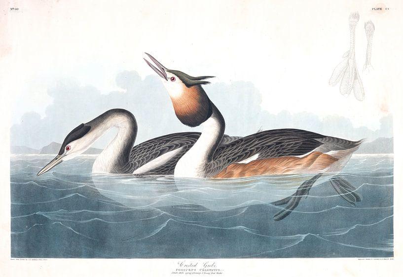 Kuiffuut van Birds of America