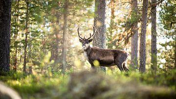 Rentiere in Norwegen von Ektor Tsolodimos
