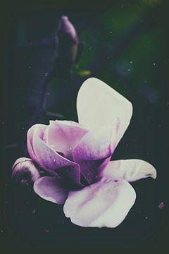 Magnolie im Gegenlicht van