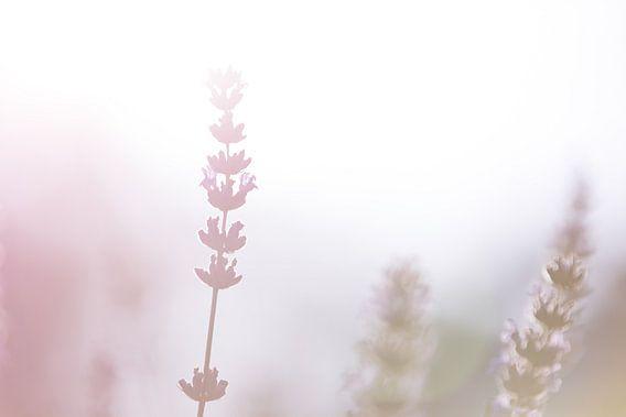 Lavendel 3 van Gijs de Kruijf